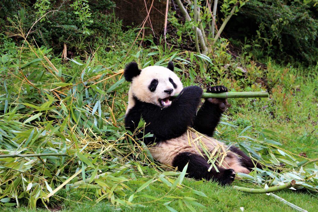 Les pandas du zooparc de Beauval