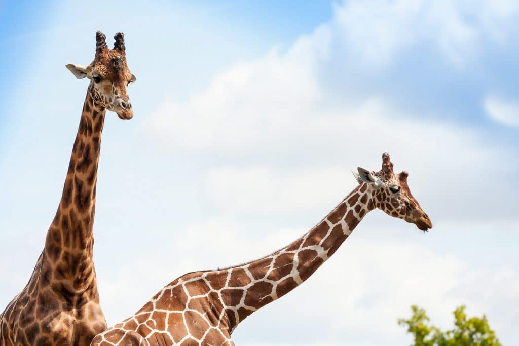 ZooParc de Beauval - Girafe / M